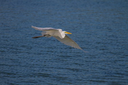 chilika: Great Egret in nature (Ardea alba) flying ,close up bird in nature Thailand Stock Photo