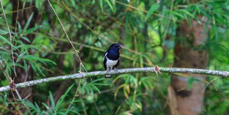 robin bird: Oriental Magpie Robin bird perched on a tree