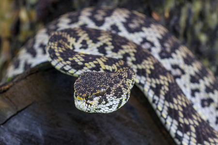 Close up of Mangrove Pitviper snake ( Trimeresurus purpureomaculatus) from Thailand