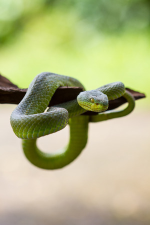 Close up Yellow-lipped Green Pit Viper snake (Trimeresurus trigonocephalus) in nature from Thailand Stock Photo