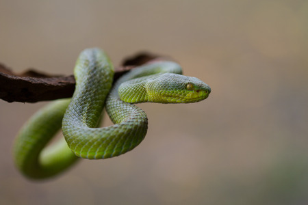 viper: Close up Yellow-lipped Green Pit Viper snake (Trimeresurus trigonocephalus) in nature from Thailand Stock Photo