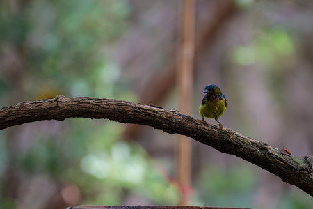 sunbird: Brown-throated Sunbird is perching on branch.(Anthreptes malacensis) Stock Photo