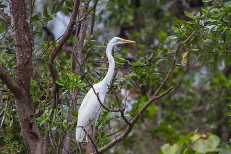 median: Intermediate Egret perching on tree branch in the forest (Mesophoyx intermedia), Thailand Stock Photo