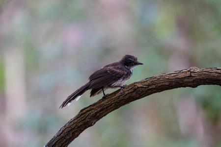 fantail: Pied Fantail bird sitting on bracnh (Rhipidura javanica)