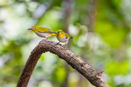 Oriental White-eye Bird, standing on a branch