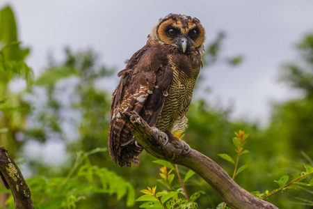 Asian Brown Wood Owl on tree in forest Stock Photo