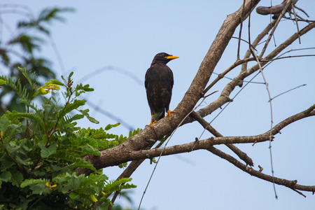 vented: white vented myna on nature background (Acridotheres grandis)