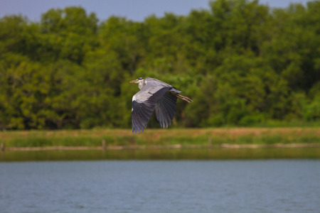 Grey heron fly over lake, ardea cinerea
