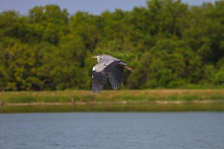 quagmire: Grey heron fly over lake, ardea cinerea