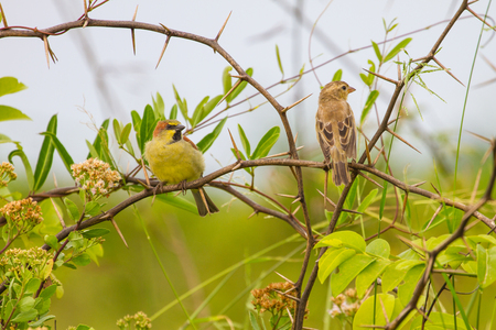 the sparrow: Plain backed Sparrow ( Passer flaveolous ) , standing on branch Stock Photo
