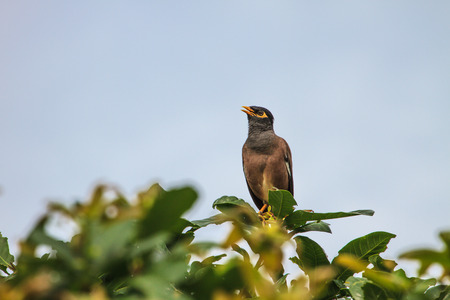 common myna bird: Common Myna bird (Acridotheres tristis) perching on the tree Stock Photo