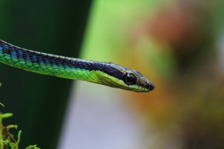 forked: Macro of Painted bronzeback snake (Dendrelaphis pictus) Stock Photo