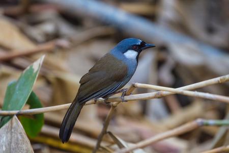 Bird Beautiful black-throated laughingthrush (Garrulax chinensis) in nature, Thailand