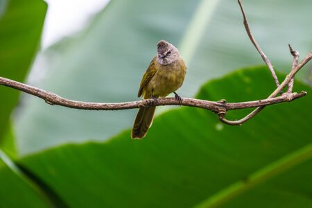 beautiful flavescent bulbul (Pycnonotus flavescens) in tropical forest