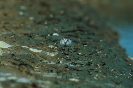 Spoon-billed sandpiper (Calidris pygmaea) in nature Thailand