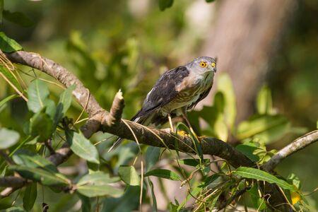 tempered: Besra or Little Sparrow Hawks  (Accipiter virgatus) Standing on branch