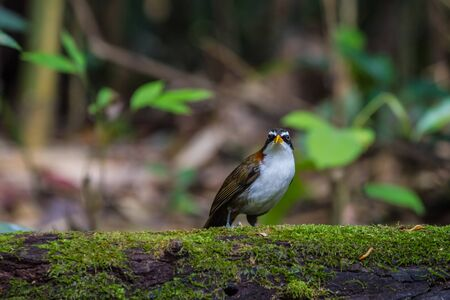 White-browed Scimitar-babbler (Po matorhinus schisticeps) bird in nature Stock Photo