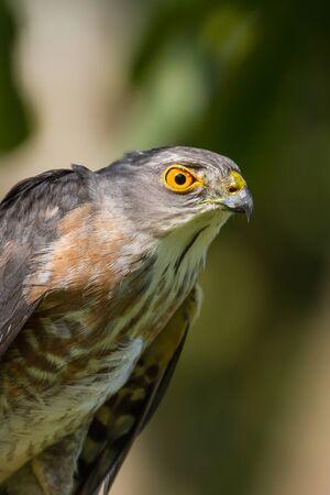 Closeup Besra or Little Sparrow Hawks  (Accipiter virgatus)