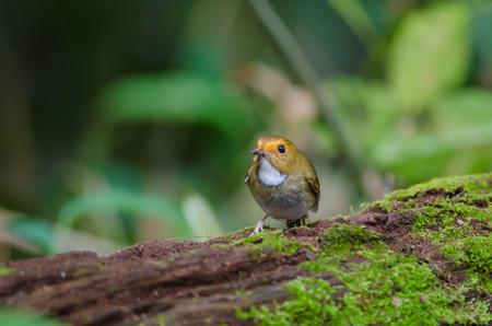 Rufous-browed Flycatcher (Ficedula solitaris) perch on branch Stock Photo