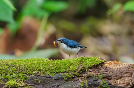 fascinate: Siberian blue robin (Luscinia cyane) the beautiful blue bird standing on the mossy log