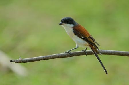 animalia: Burmese Shrike (Lanius collurioides) perching on a branch