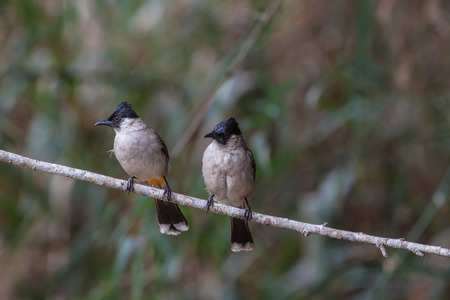 sooty: Beautiful bird Sooty headed Bulbul perched on the tree in nature Thailand
