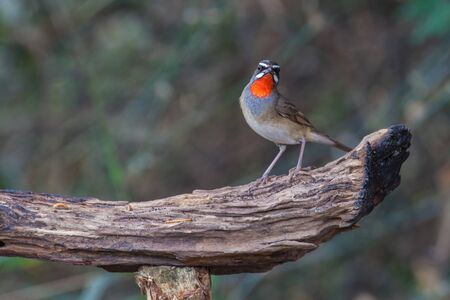 small world: Beautiful of Siberian Rubythroat Bird (Calliope calliope) in nature Thailand