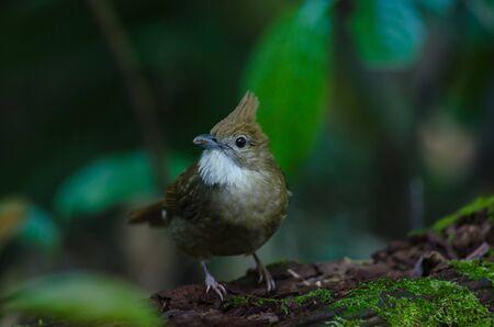 Ochraceous Bulbul bird (Alophoixus ochraceus) in forest Thailand