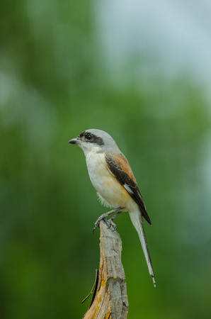 vittatus: Bay-backed Shrike Bird (Lanius vittatus) perching on a branch