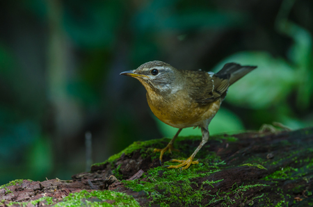 Eyebrowed Thrush Bird (Turdus obscures) in tropical forest Thailand Stock Photo