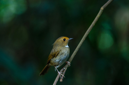 Rufous-browed Flycatcher (Ficedula solitaris) perch on branch Stock Photo