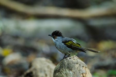 ashy: Ashy Bulbul  (Hypsipetes flavala) bird in Thailand or (Hemixos flavala)
