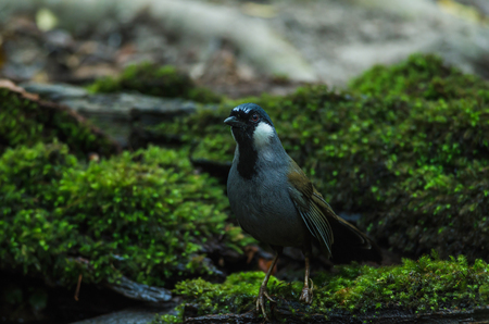 garrulax: Bird Beautiful black-throated laughingthrush (Garrulax chinensis) in nature, Thailand
