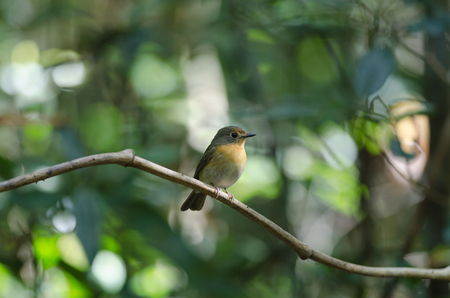 Tickells Blue Flycatcher perched on a tree branch (Cyornis tickelliae ) in Thailand