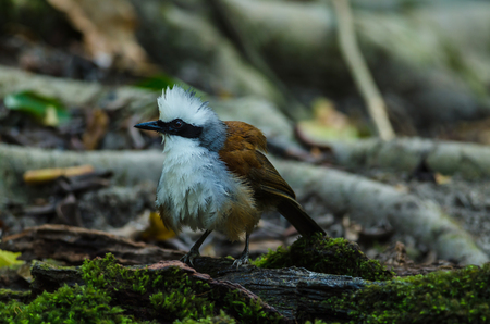 white crested laughingthrush: White-crested laughing thrush (Garrulax leucolophus) in nature