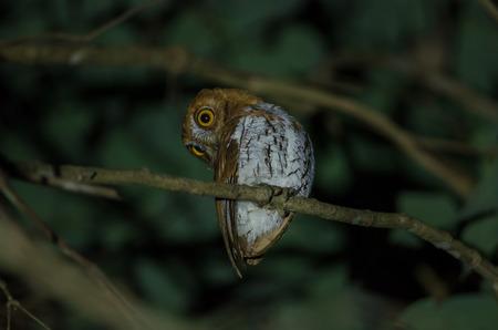 Oriental Scops Owl (Otus sunia) standing on a branch Stock Photo