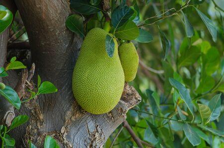 jackfruit (alternately jack tree, jakfruit, or sometimes simply jack or jak; scientific name Artocarpus heterophyllus) on a tree Stock Photo