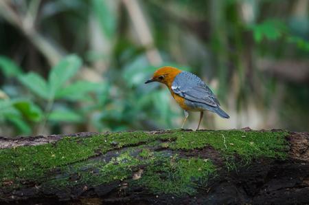 inter: Orange-headed thrush (Geokichla citrina) in nature Thailand