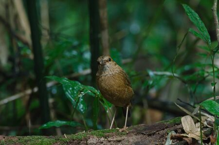 Rusty-naped Pitta (Pitta oatesi) standing on the log in tropical forest Thailand