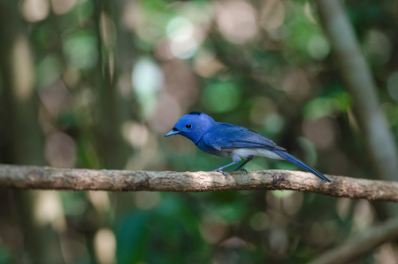 Black-naped monarch (Hypothymis azurea) perching on a branch in tropical forest, Thailand