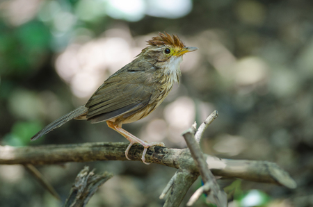 Beautiful bird Puff-throated Babbler in tropical forest, Thailand