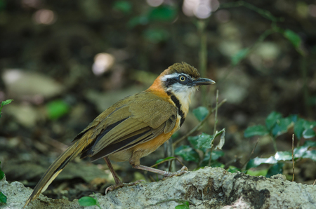 Lesser Necklaced laughingthrush (Garrulax moniliger) in tropical forest, Thailand