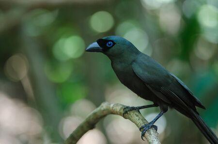 Racket-tailed Treepie.(Crypsirina temia) in forest, Thailand