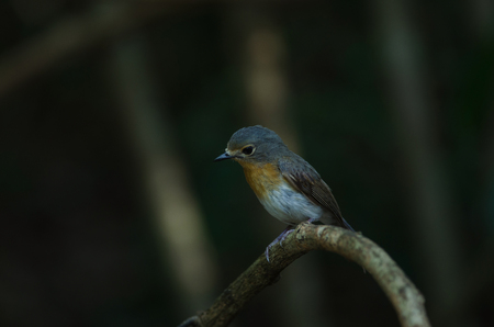 Red-throated Flycatcher (Ficedula albicilla) on the branches in tropical forest, Thailand