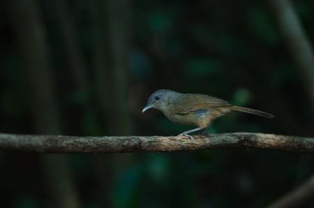 Brown-cheeked Fulvetta, Grey-eyed Fulvetta (Alcippe poioicephala) in forest Thailand