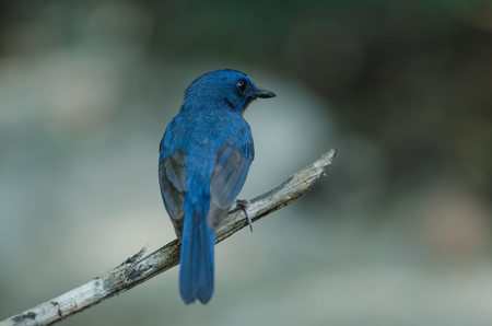 Hill Blue Flycatcher on a branch (Cyornis banyumas) in tropical forest, Thailand Stock Photo