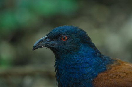 Greater Coucal bird (Centropus sinensis) in tropical forest, Thailand Stock Photo