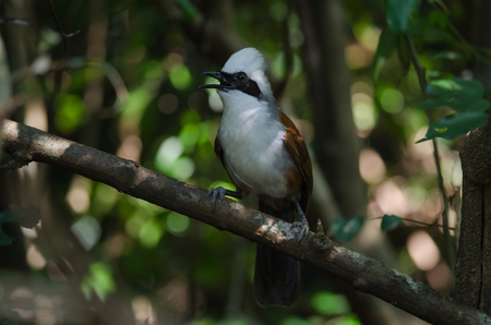 White-crested laughing thrush (Garrulax leucolophus) in tropical forest, Thailand