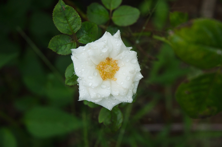 close up of a white rose covered by morning dew Stock Photo