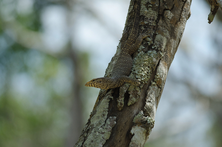 close up Water monitor lizard, Varanus on tree in forest